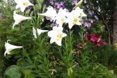 Белоснежные трубчастые лилии