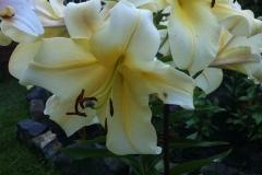 Еще одна лилия-гигант