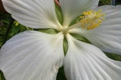 Цветет болотный гибискус и обыкновенный травянистый